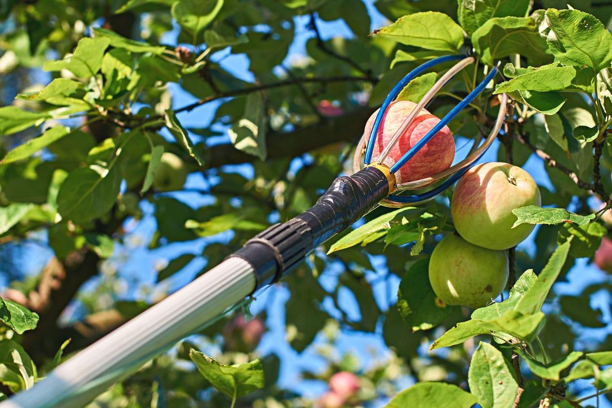 Fruit-pickers